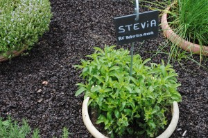 "Photo of stevia leaves growing in gardens at Château de Chenonceau, for blog, ""Pictures From France,"" on www.SATgourmet.com, by Charis Freiman-Mendel, author of cookbook, ""Cook Your Way Through The S.A.T."""