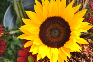 "Photo of sunflower for blog post, ""A Trip To The Farmer's Market,"" on www.SATgourmet.com, by author of Cook Your Way Through The S.A.T., Charis Freiman-Mendel."